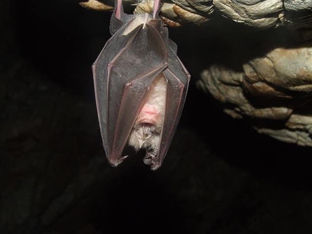 que comen los muerciélagos