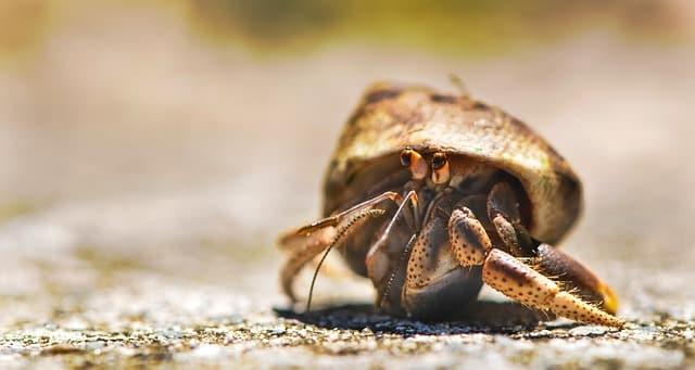Que comen los cangrejos