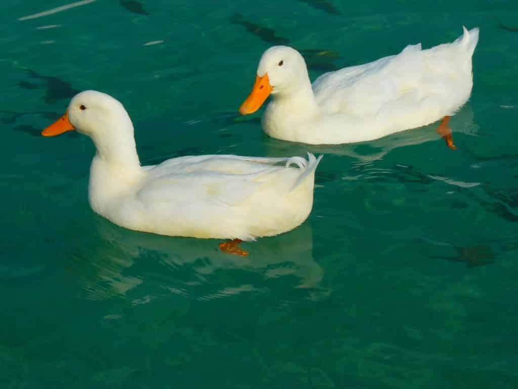 duck-15026_1280