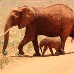 Que comen los elefantes 9