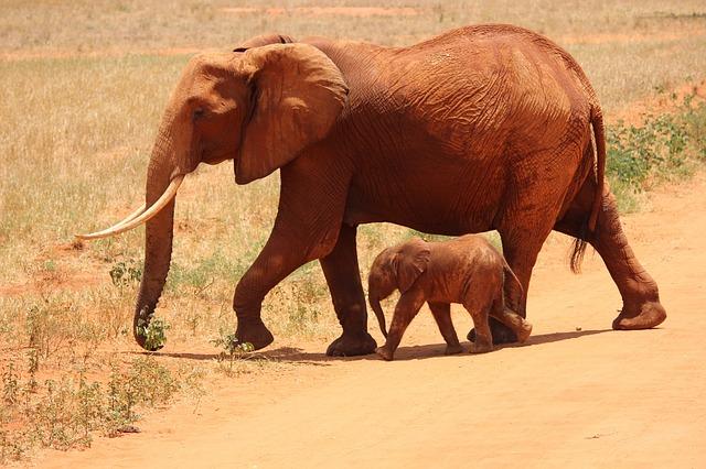 Que comen los elefantes