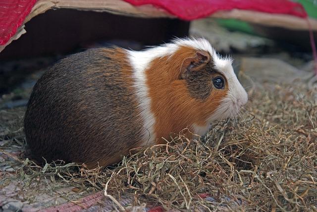 guinea-pig-551479_640