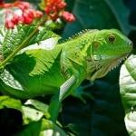 que comen las iguanas
