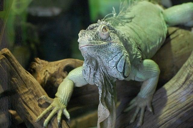 la alimentacion de las iguanas