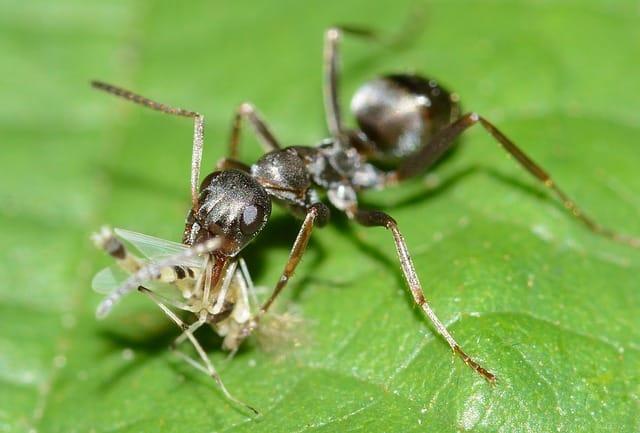 alimentacion de las hormigas