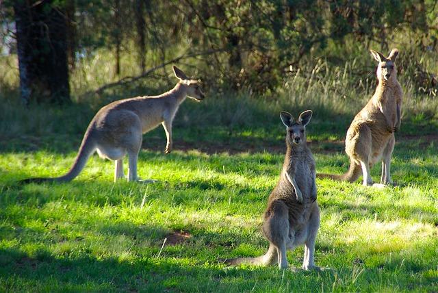 Q Significa Kangaroo Que comen los canguros...