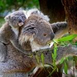 que comen los koalas