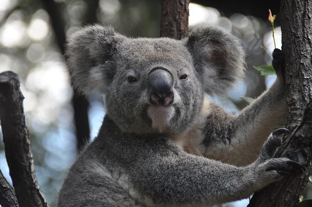 koala-843306_640