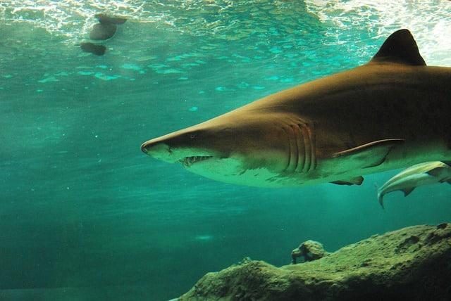 Que comen los tiburones