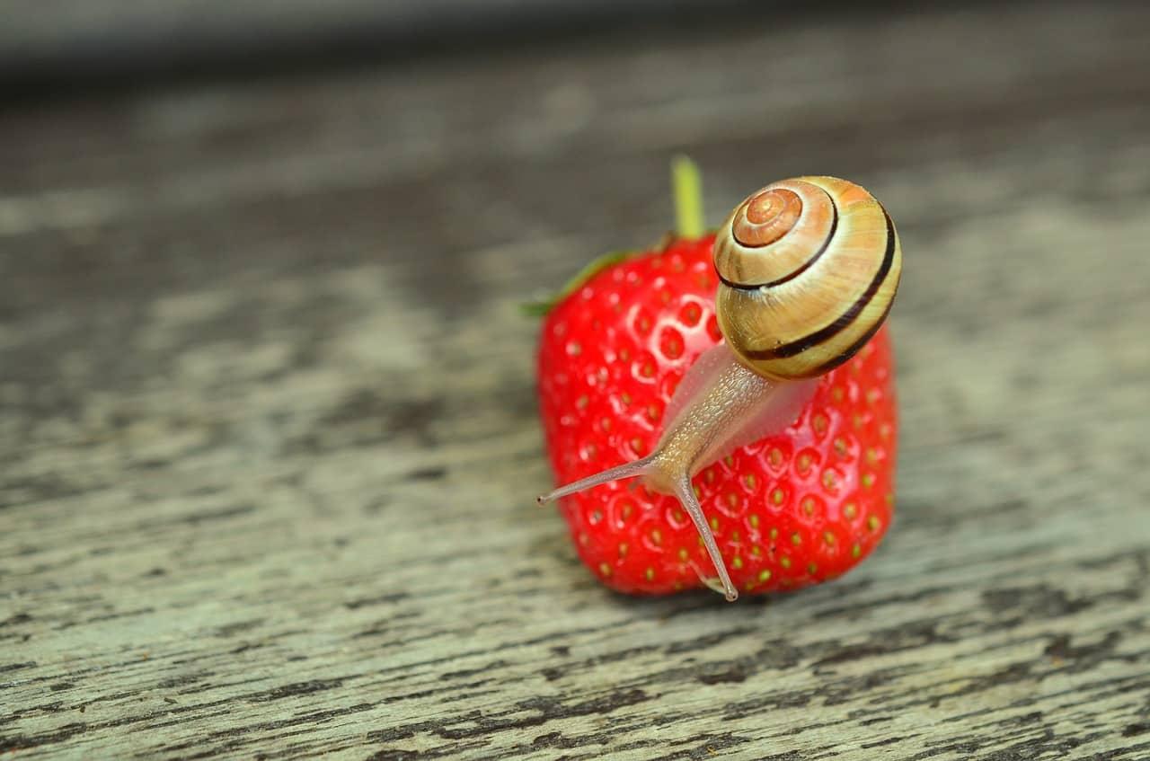 Que comen los caracoles que comen los animales for Caracol de jardin alimentacion