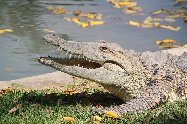 Que comen los cocodrilos y caimanes