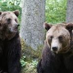 que comen los osos pardos