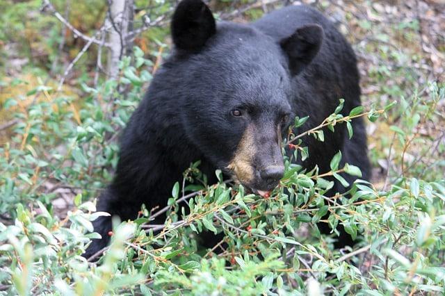 que come un oso negro