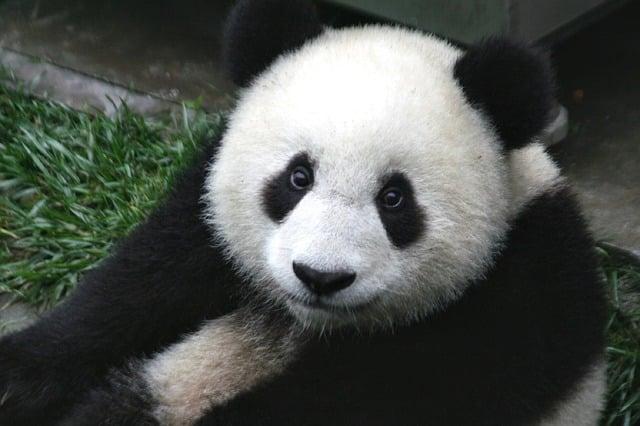 que comen los osos panda