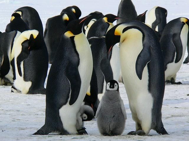 que comen los pinguinos