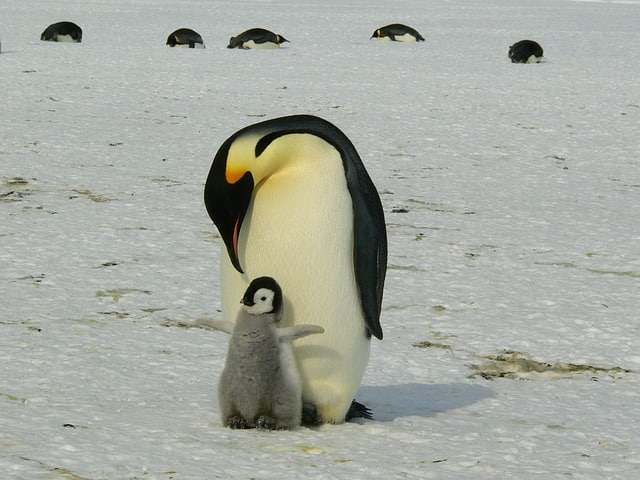 que come un pinguino