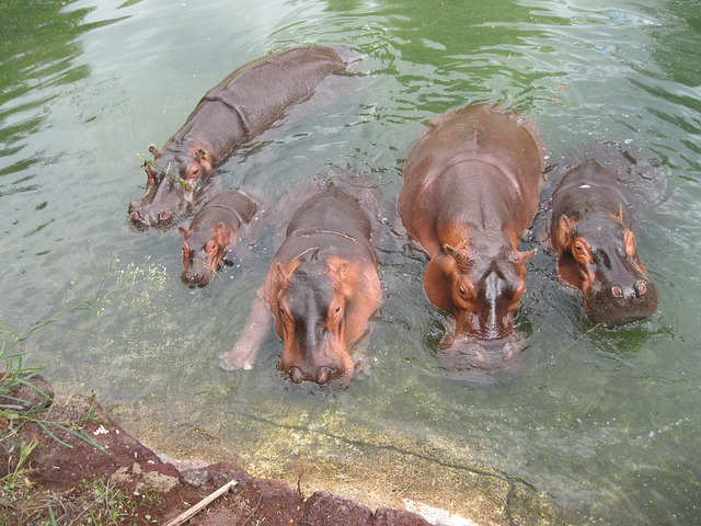 La alimentacion de los hipopotamos