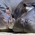 que comen los hipopotamos