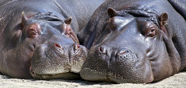 Que comen los hipopótamos