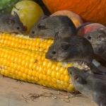 que comen un raton