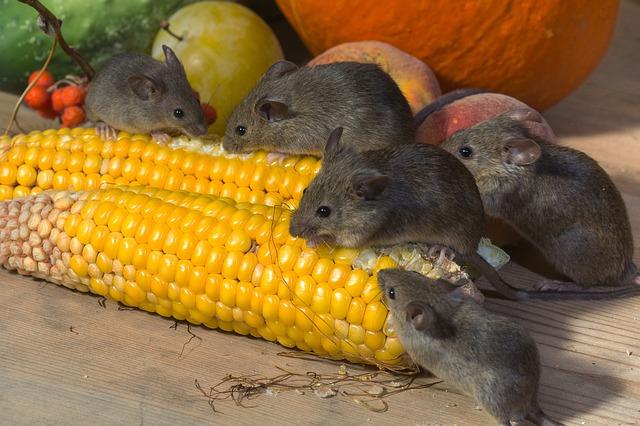 Que comen los ratones