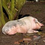 que comen los cerdos