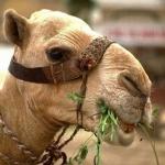 que comen los camellos