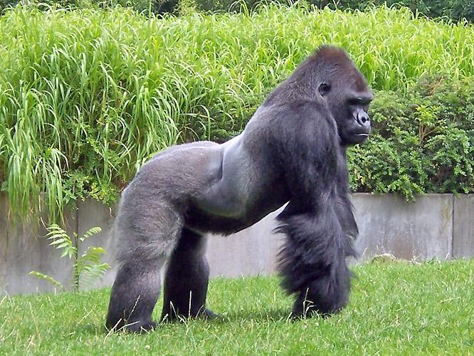 Que comen los gorilas
