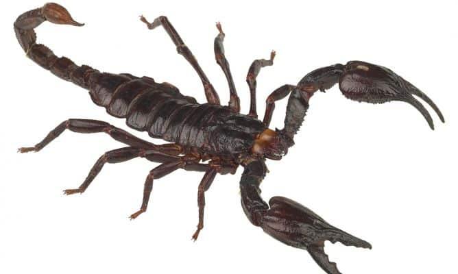 Que comen los escorpiones