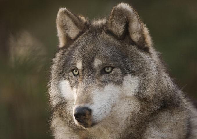 Que comen los lobos 1