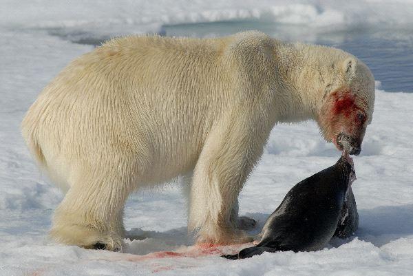 Que comen los osos polares
