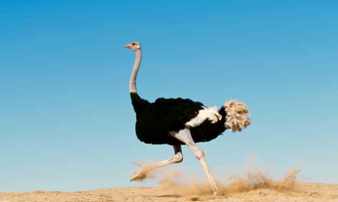 Que comen los avestruces