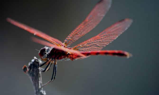 Que comen las libélulas