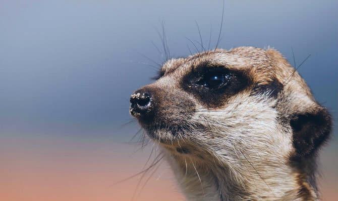 Que comen los suricatos