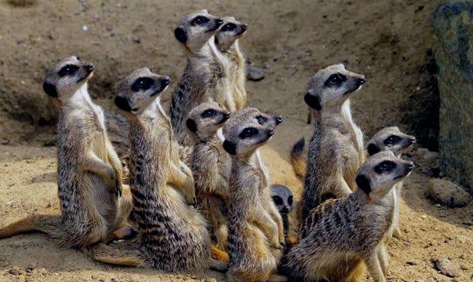 Que comen los suricatos 2