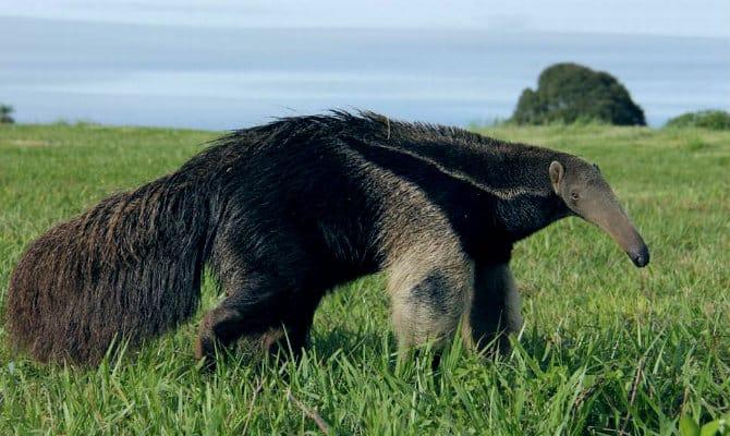 Que comen los osos hormigueros