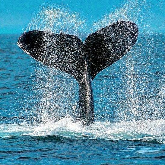 alimentos que comen las ballenas azules