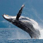 que come la ballena azul