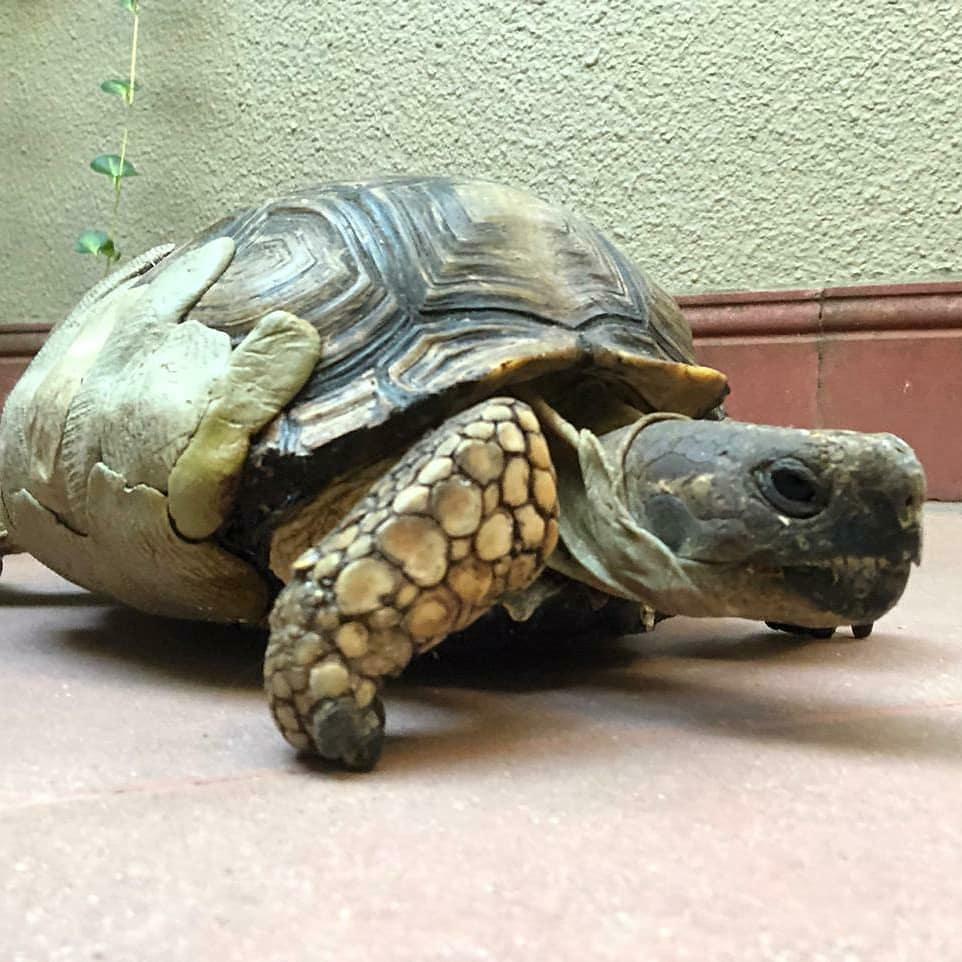 de que se alimenta una tortuga de tierra