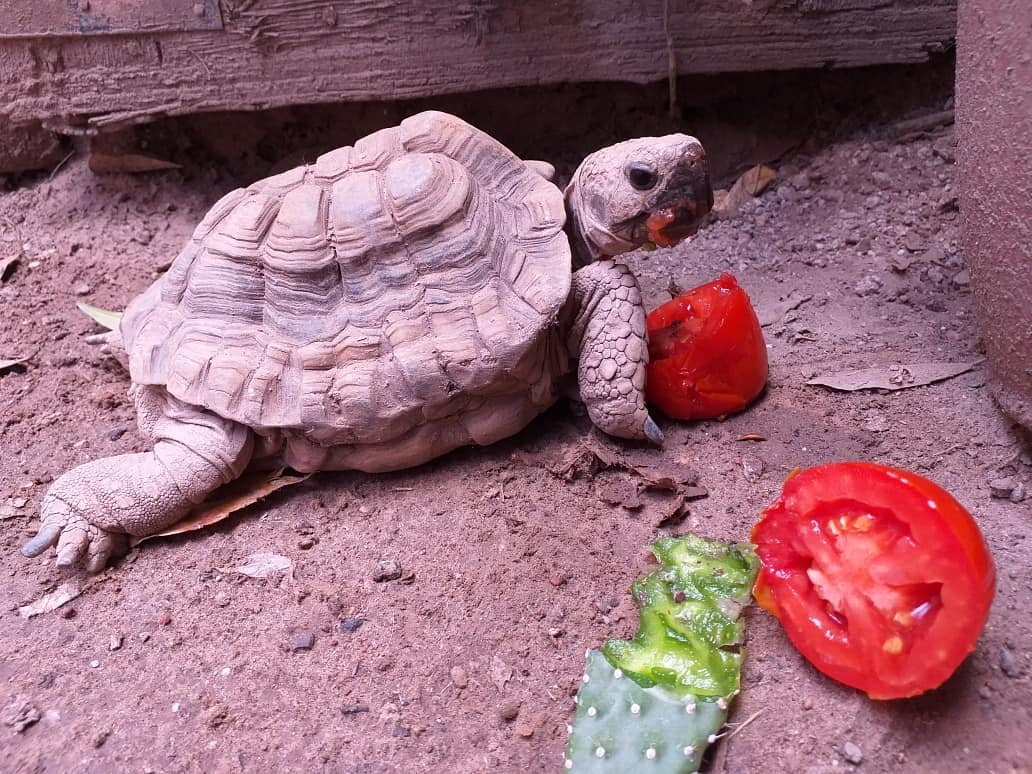 que comen las tortugas terrestres