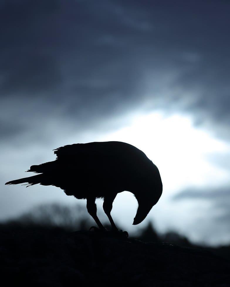que come los cuervos