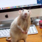 ¿Qué comen las ratas? 2