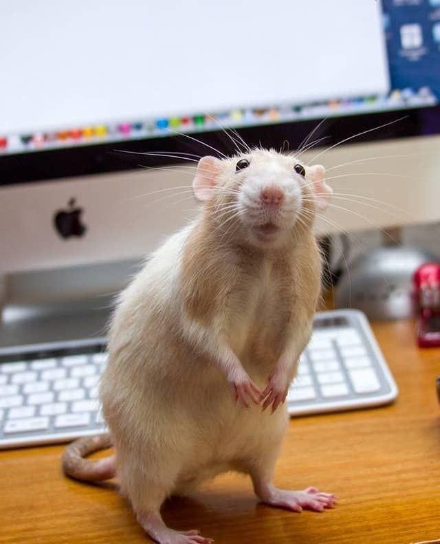 ¿Qué comen las ratas? 1