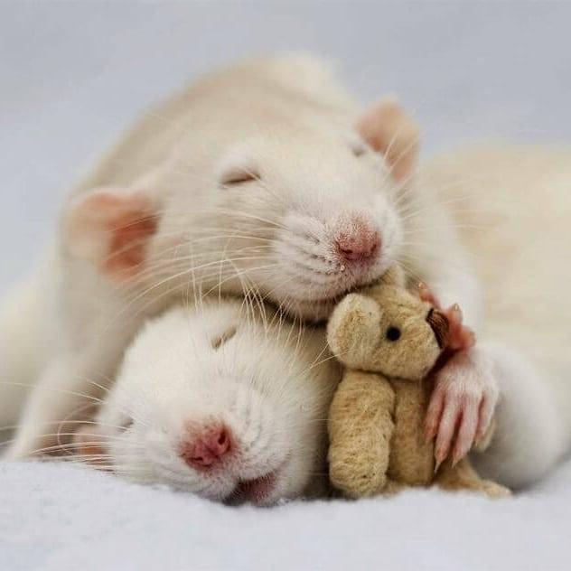 Ratas blancas durmiento